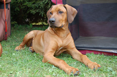 Rhodesian Ridgeback shows